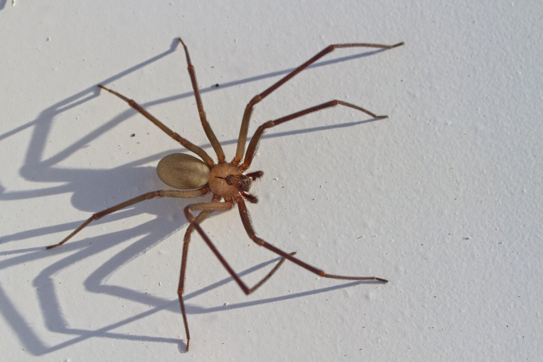 gros plan, de, araignée recluse brune