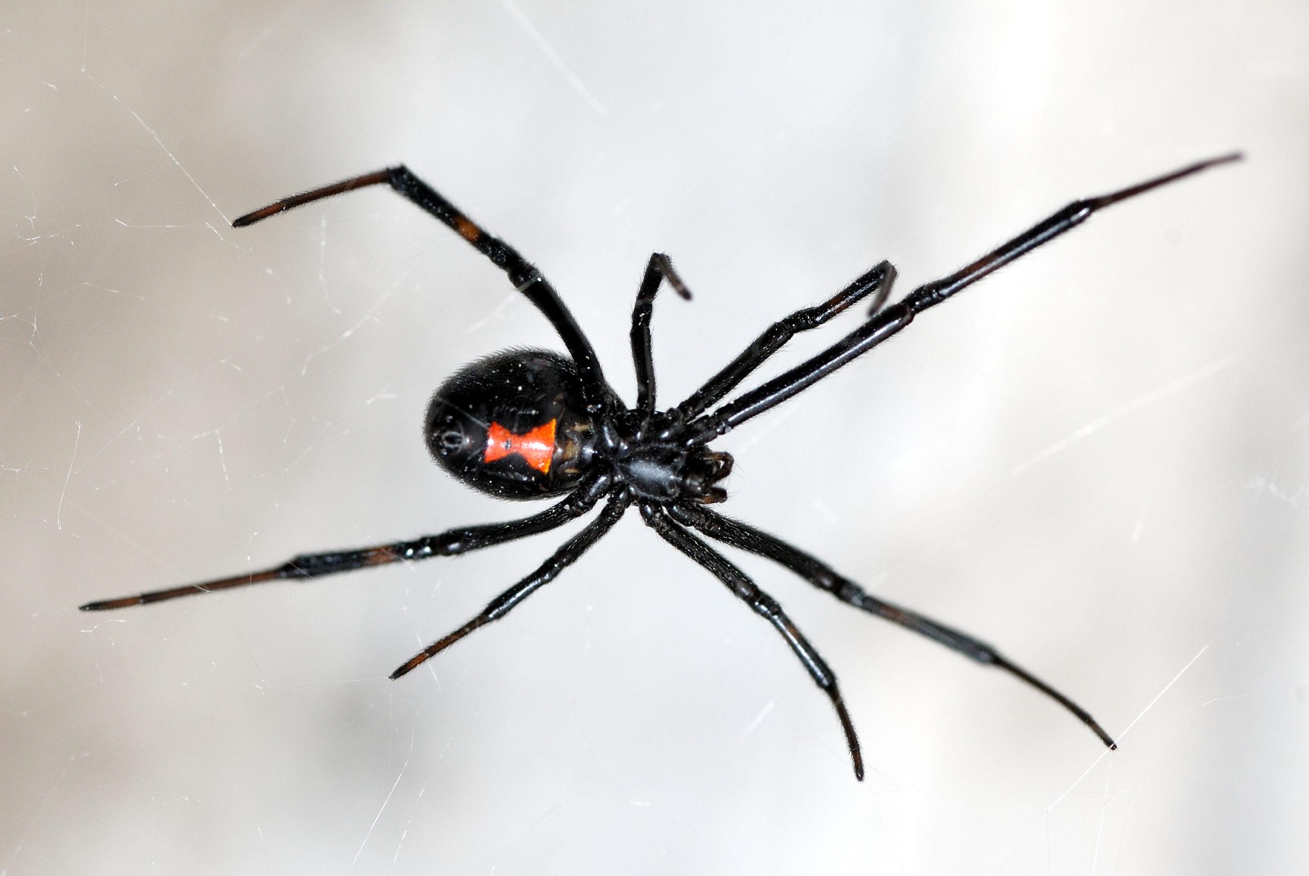 gros plan, de, veuve noire, araignée